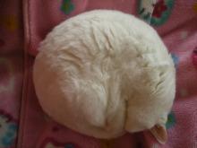 JR芦屋 美容室&アロマ・フェイシャル・リラクゼーションサロン ア クール-白い猫 ナナ