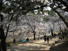 夙川の桜3