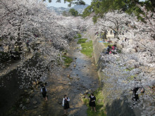 夙川の桜4