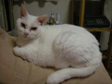 アロマ香るJR芦屋の美容室&アロマ・フェイシャル・リラクゼーションサロン ア クール-白猫 ナナ