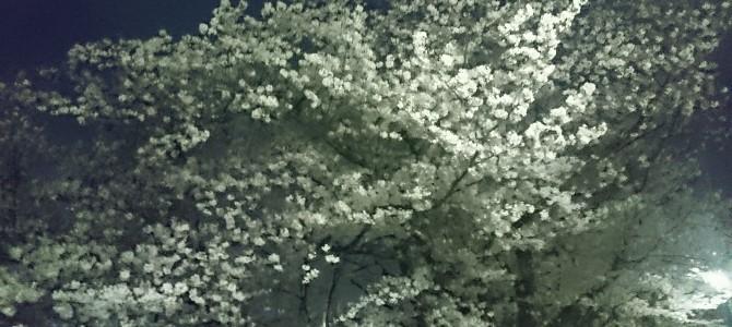 夜桜見物行きました