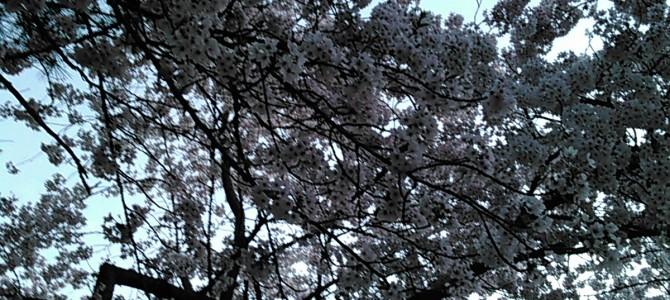 桜の中の白鳥