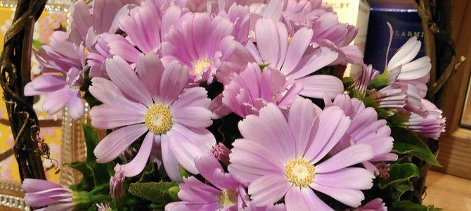 3月のお花 「サイネリア」
