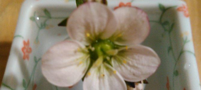 3月のお花2「雲間草」(クモマグサ)
